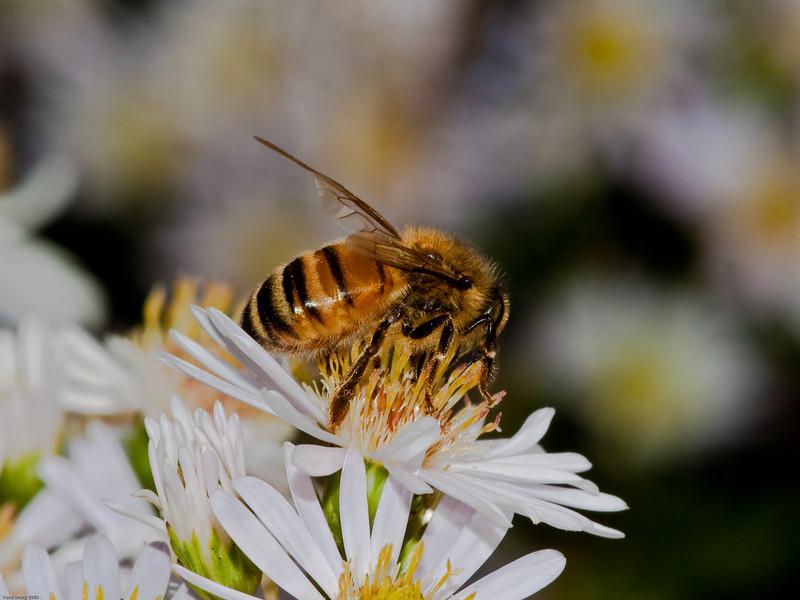 Honey Bee. Copyright 2009 Peter Drury
