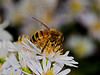 Honey Bee. Copyright 2009 Peter Drury