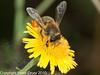 04 Sep 2010 - Honey Bee (Apis mellifera) seen at Broadmarsh, Langstone Harbour. Copyright Peter Drury 2010