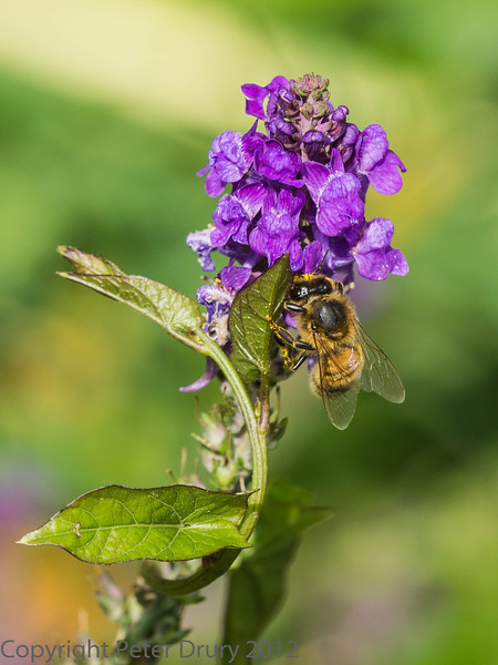 21 July 2012 Honey Bee at Widley