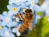 Honey Bee (Apis mellifera)