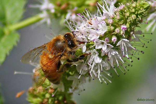 Bees, Wasps & other Stingers