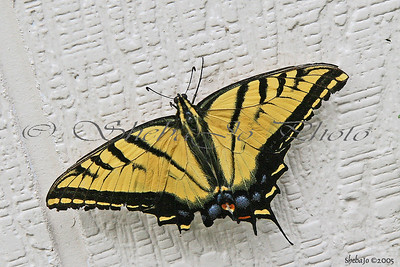 wounded butterfly, after wind storm