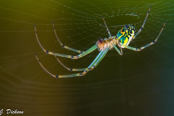 Spider-6701