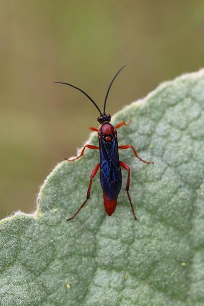 Ichneumon Wasp (Ichneumonidae)