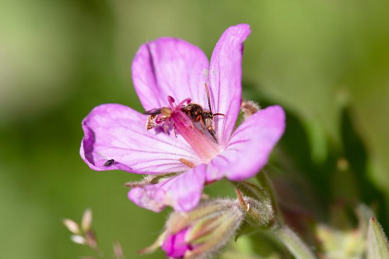 Nomad Bee (Nomada)