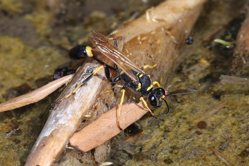 Mud Dauber (Sphecidae)