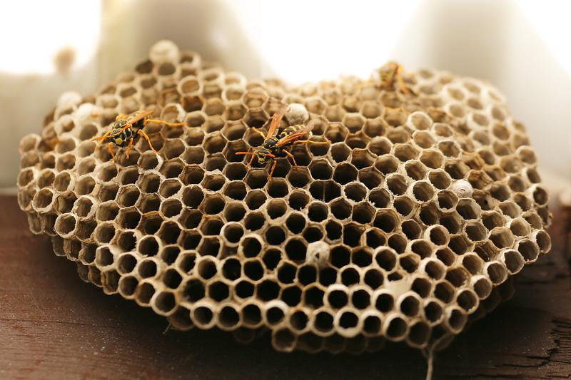 European Paper Wasp Queens (Polistes eominula)