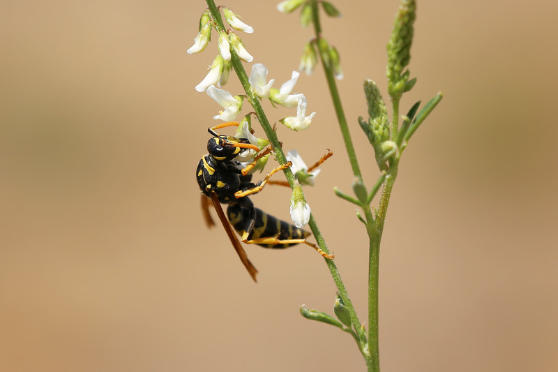 European Paper Wasp Female (Polistes dominula)