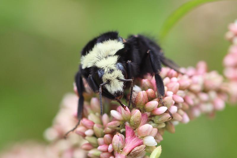 Yellow Faced Bumble Bee (Bombus vosnesenskii)