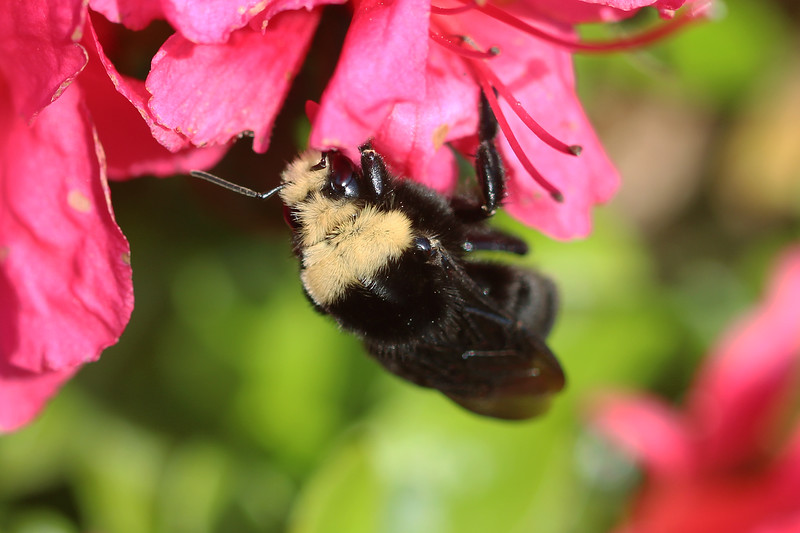 Yellow Face Bumble Bee (Bombus vosnesenskii)