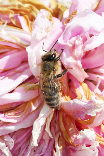 Wester Honey Bee (Apis mellifera)