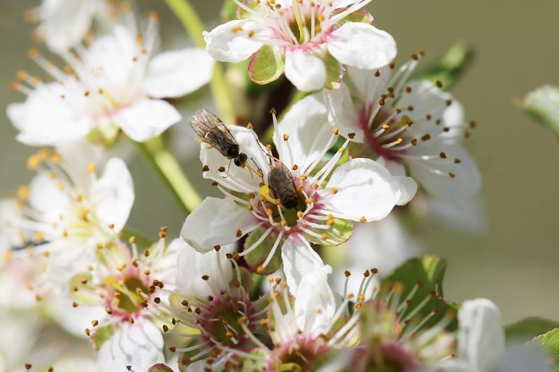 Common Sawflies (Tenthredinidae)