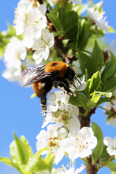 Nevada Bumble Bee Queen (Bombus nevadensis)
