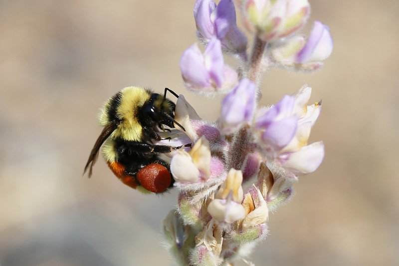 Bumble Bee (Bombus)