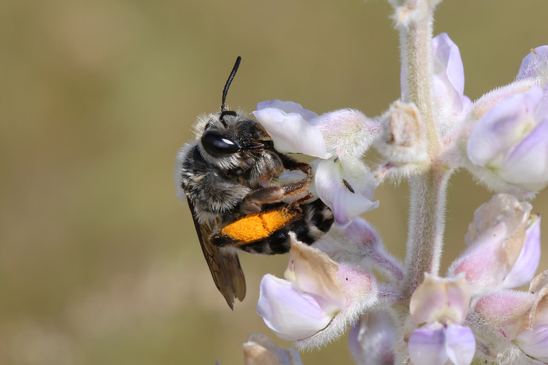 Digger Bee (Anthophorini)