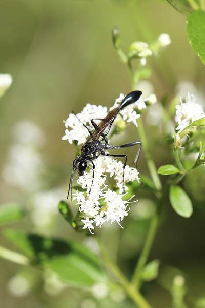 Thread-Waisted Wasp (Sphecidae)