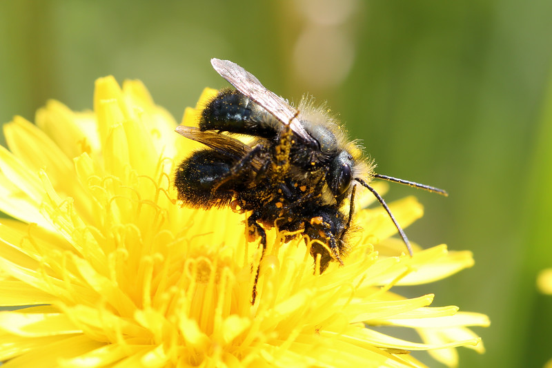 Blue Orchard Bees Mating (Osmia lignaria)