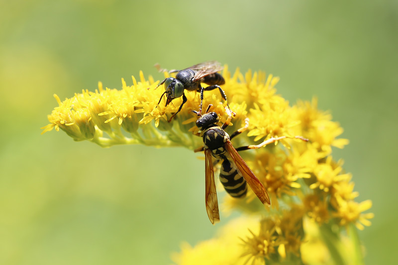 Polistes dominula and Sphecoid Wasp