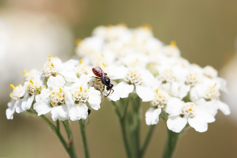 Blood Bee (Sphecodes)