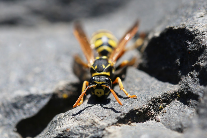 Paper Wasp Spring Queen (Polistes dominula)