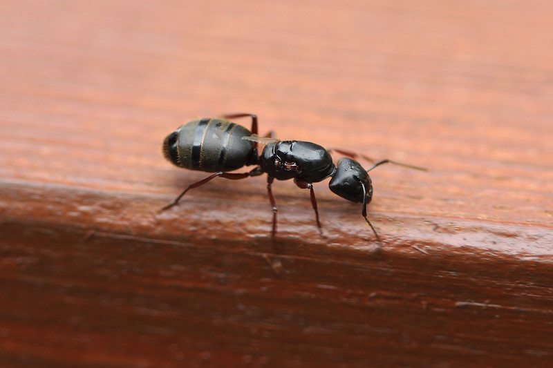 Queen Ant (Formicidae)