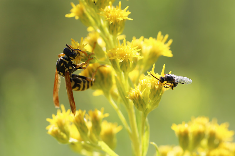 Polistes dominula and a Tiphiid Wasp
