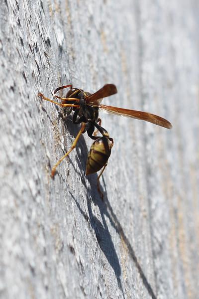 Western Paper Wasp (Mischocyttarus flavitarsis)