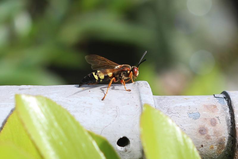 Eastern Cicada Killer (Sphecius speciosus)