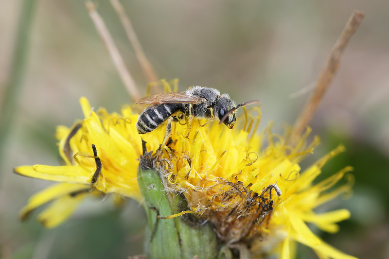 Unidentified Bee (Hymenoptera)