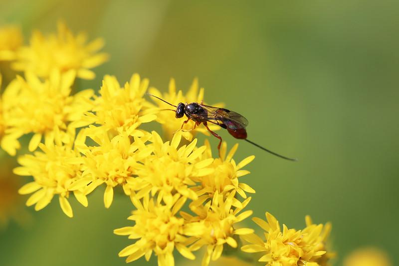 Braconid or Ichneumonid Wasp (Ichneumonoidea)