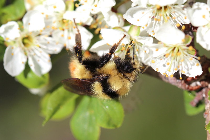 Bumble Bee Queen (Bombus huntii)