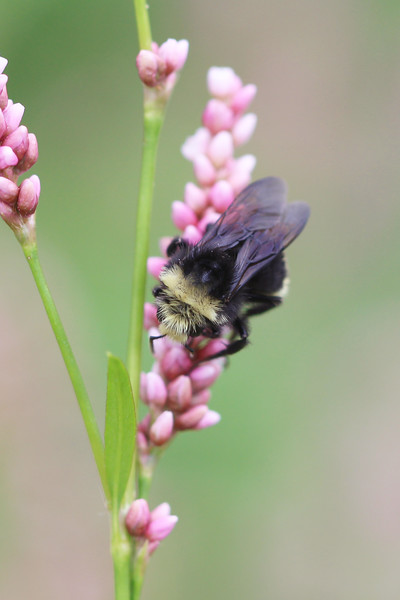 Yellow-Faced Bumble Bee (Bombus vosnesenskii)