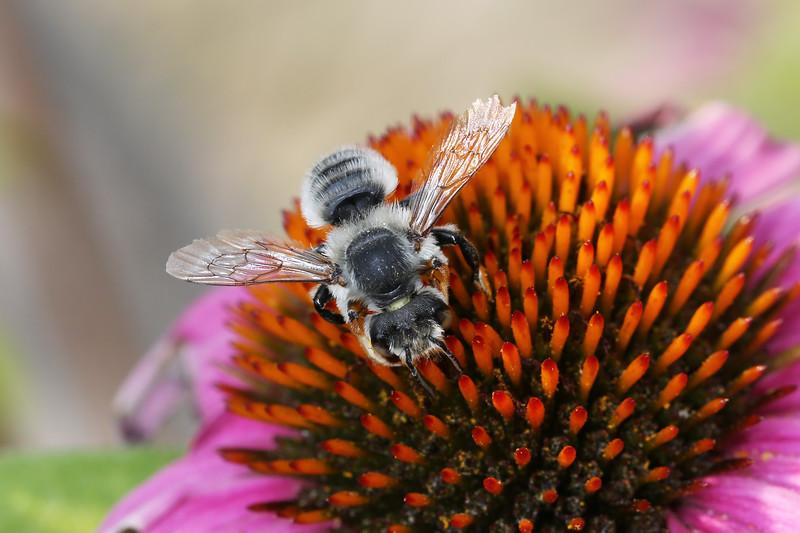 Leaf Cutter Bee (Megachilidae)