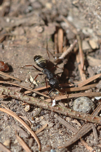 Ant (Formicidae)