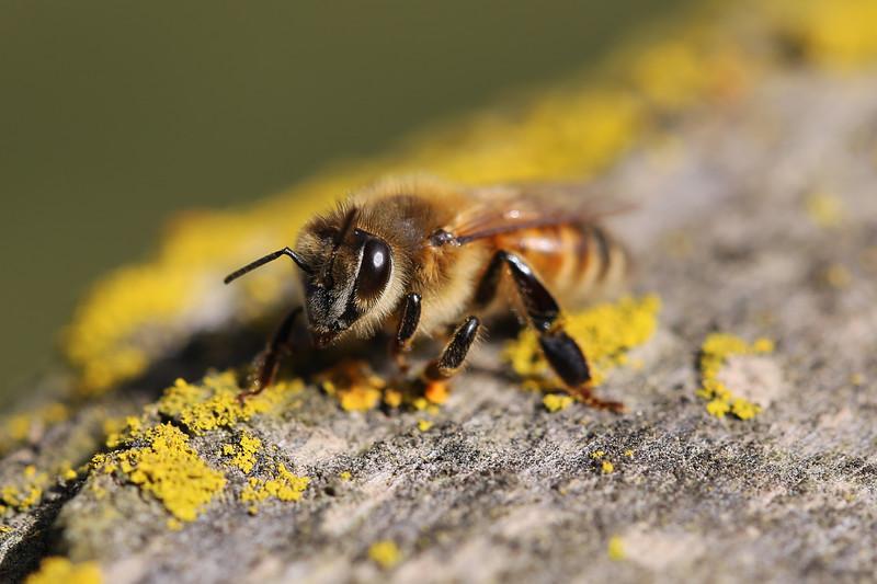 Western Honey Bee (Apis mellifera)
