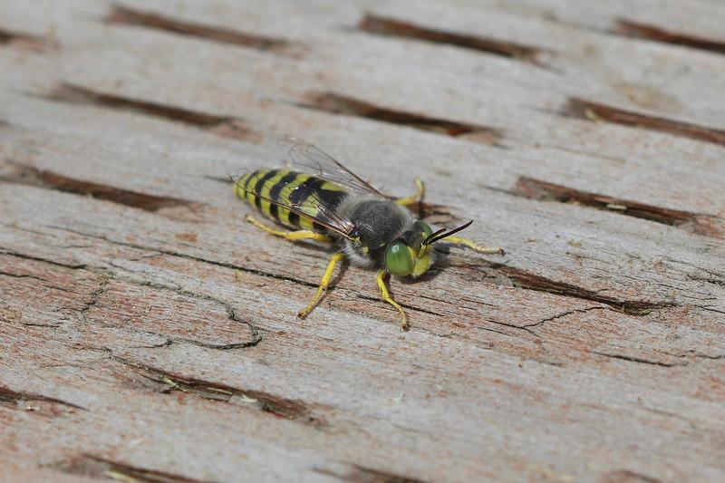 Sand Wasp (Bembicini)