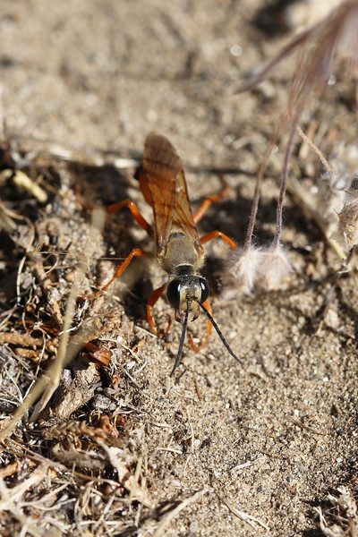 Great Golden Digger Wasp (Sphex ichneumoneus)
