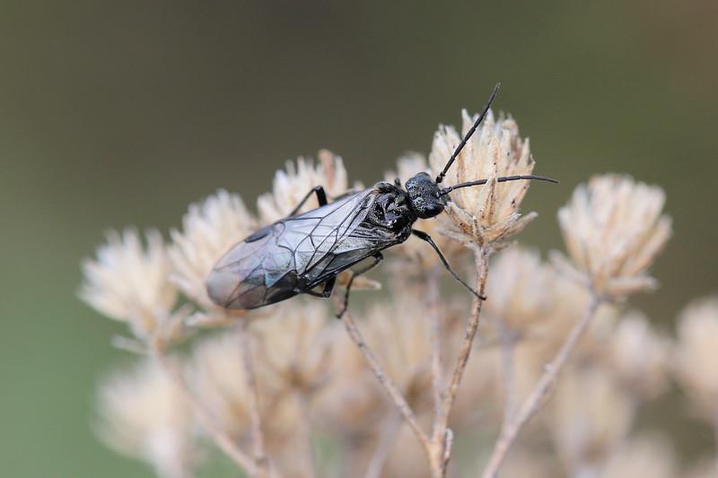 Common Sawfly (Tenthredinidae)