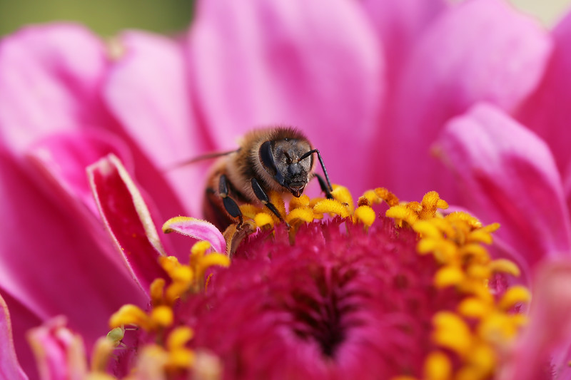 Honey Bee Worker (Apis mellifera)