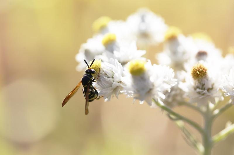 Chalcid Wasp (Chalcididae)