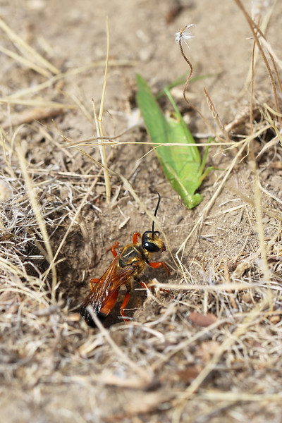 Great Golden Digger Wasp (Sphex ichneumoneus) with Prey (Tettigoniidae)