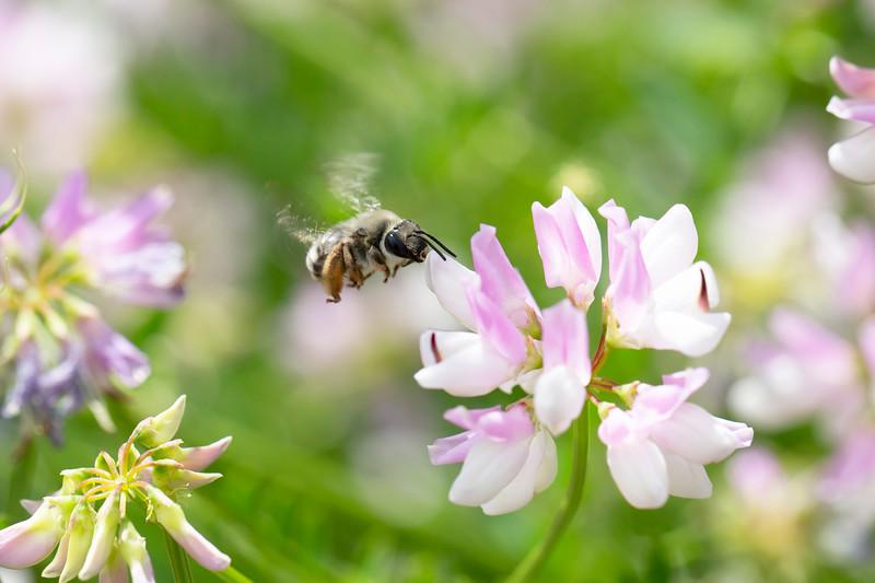 Digger Bee (Anthophorini)