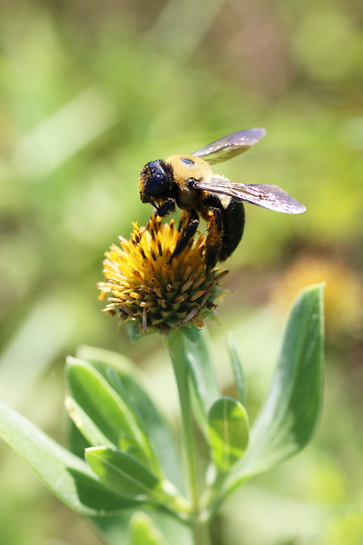 Large Carpenter Bee (Xylocopa)