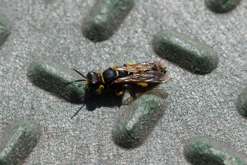 Squarehead Wasp (Crabronina)