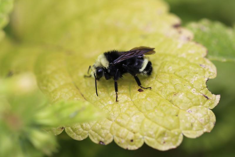 Bumble Bee (likely Bombus vosnesenskii)