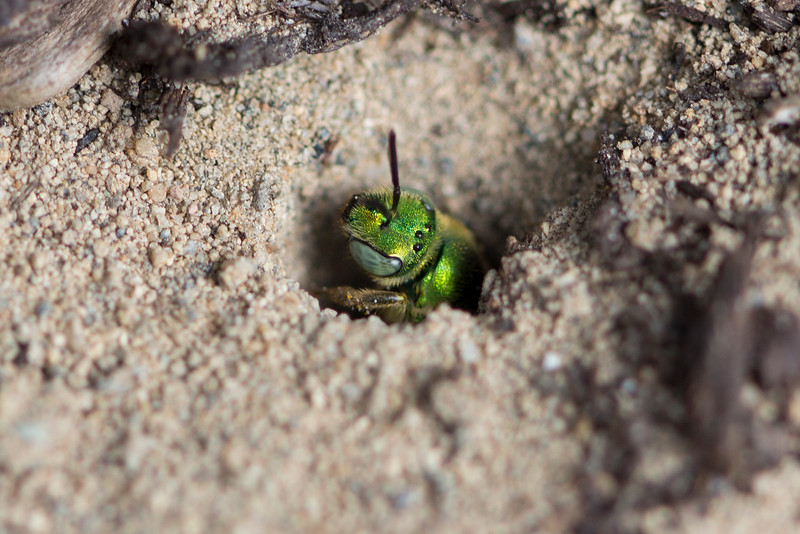 Metallic Green Sweat Bee (Agapostemon)
