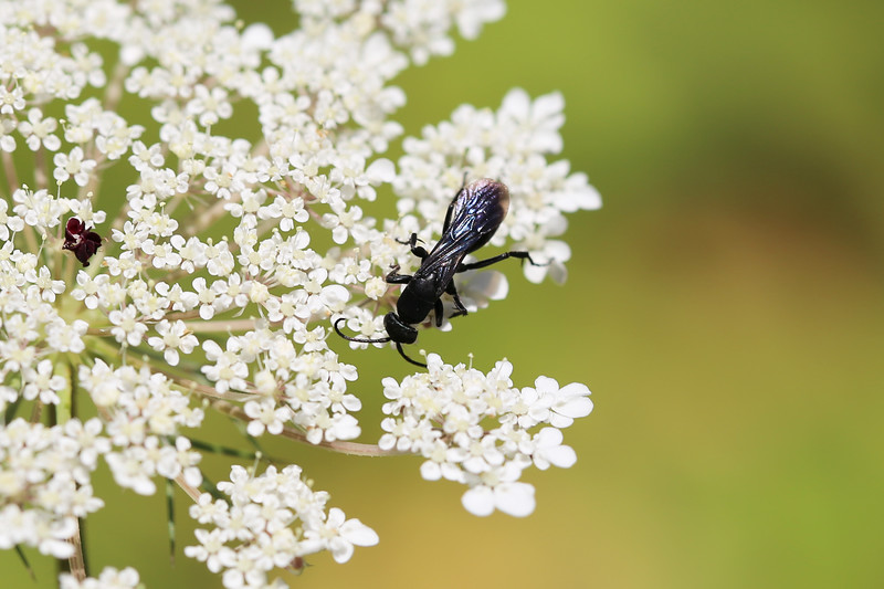 Spider Wasp (Pompilidae)