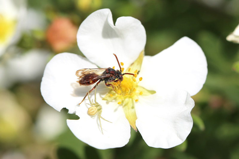 Nomad Bee (Nomada) and Flower Crab Spider (Misumena)