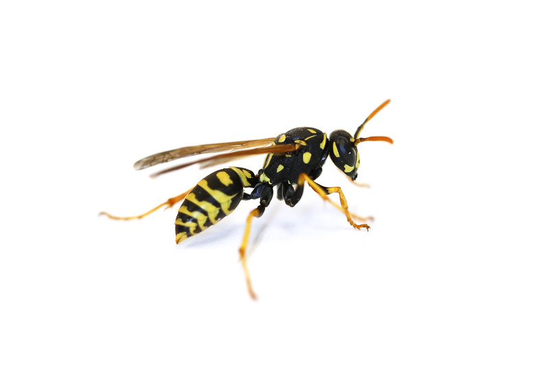 European Paper Wasp Spring Queen (Polistes dominula)